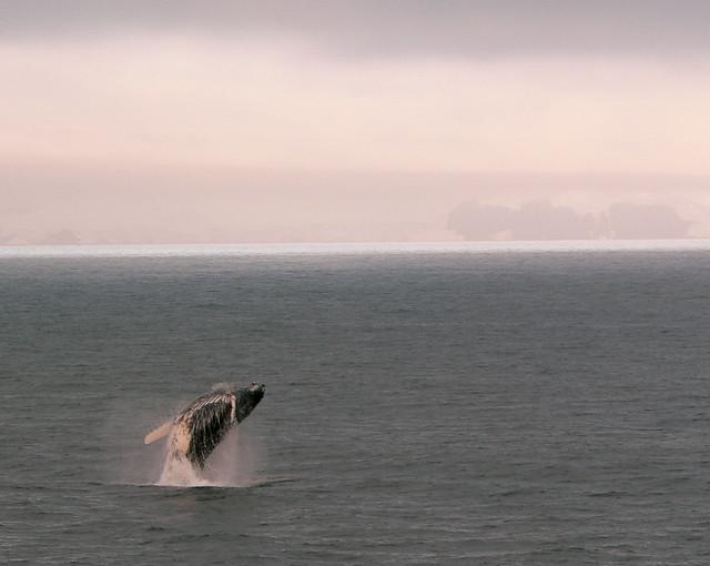 Humpback Jumping