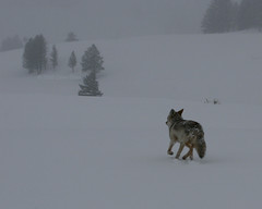 Snowstorm Coyote - Yellowstone (Dave Stiles) Tags: coyote winter wildlife yellowstonenationalpark yellowstone canislatrans thoughtstoliveby yellowstonewildlife naturewatcher wintercoyote ynpwinter2008