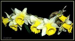 Les Jonquilles (JL) Tags: fleur jaune noir d70 narcisse smrgsbord jonquille artisticexpression anawesomeshot llovemypic