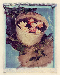 """Water Lilies in a Pail"""