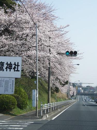 蘇羽鷹神社の桜.jpg