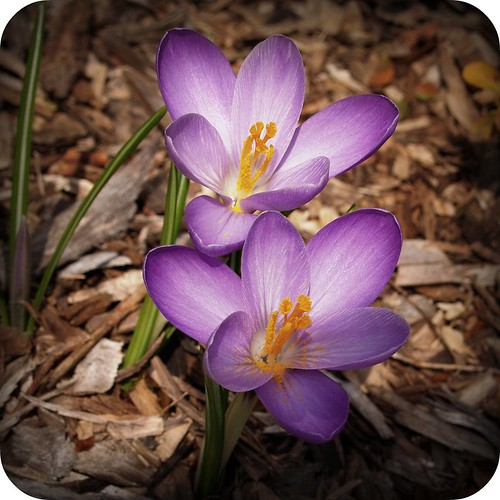 and i said, what's a crocus? by {miz.kellie}