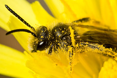 Cold bee (macropoulos) Tags: topf25 500v20f bee animalia arthropoda gettyimages hymenoptera insecta naturesfinest hexapoda apocrita apoidea canonspeedlite430ex andrenidae canonef100mmf28macrousm mywinners canoneos400d platinumphoto 30faves30comments300views specinsect vivitar2xteleconverter infinestyle diamondclassphotographer macrophotosnolimits macrofoted macromarvels gettyimages:date_added=pre20110607