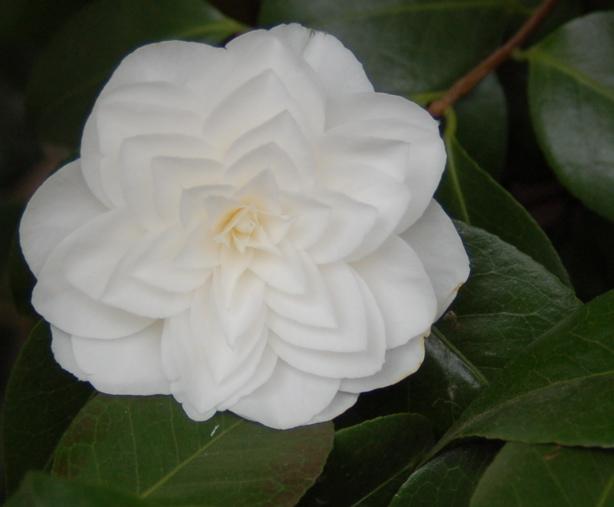 white_camellia