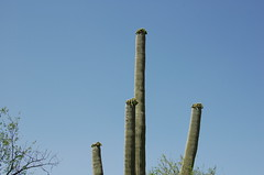 Saguaro Buds (Stefanield) Tags: cactus saguaronationalpark
