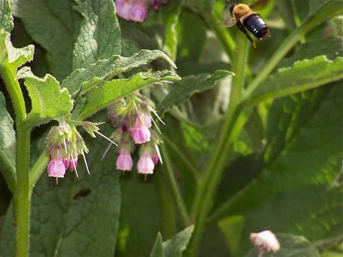 Bee N Comfrey