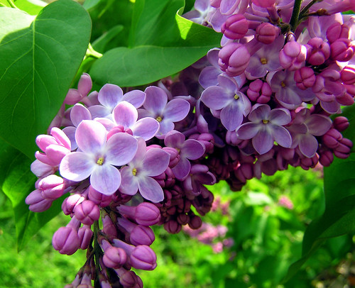 lilacs abloom by KarenMarleneLarsen