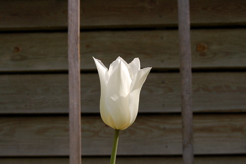 White tulip crown