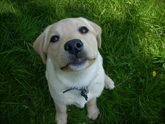 Labrador Puppy (skoop102) Tags: dog cute dogs grass yellow puppy nose pups puppies lab labrador retriever cutie labs cutiepie pup retrievers labradors guidedog sabbie