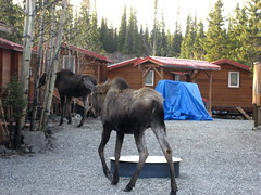 The moose cometh