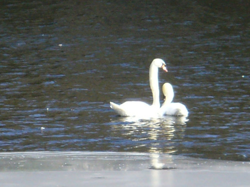 Swan couple arrive in late winter