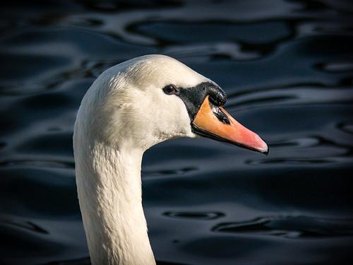 """""""Lady Swan"""""""