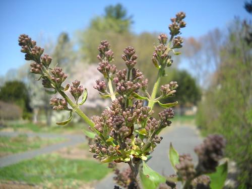 lilacs, soon