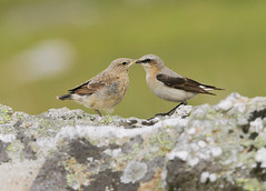 Local Northern Wheatear Family .... (+40 pictures in comments) (Gareth Scanlon) Tags: uk family blue mountain black green bird nature birds yellow wales ed parents countryside nikon bath carmarthenshire dad feeding eating wildlife small rear watching 300mm study mum tc if pro chicks perched manual 300 bathing buzzard nikkor brecon beacons mam pied common fed gareth scanlon f4 teleconverter dgs afs skylark drying wagtail norther migrant 2x wheatear buteo oenanthe kenko campod teleconvertor passerine fledling camoflagued brynamman d300s
