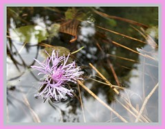 Knapweed Lotus