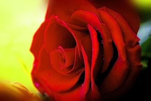 Rosa del Ramo