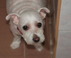 New breed - Schnauteaser!!! (Os Sutrisno) Tags: dog pet nikon buffy maltese d80 myfacebook
