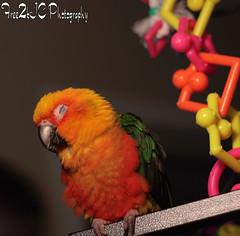 Napping (Free2bJ.C.Photos) Tags: blue orange pet baby sun green yellow toys colorful feathers parrot cage cutie sleepy tired napping sweetie lovely conure pasha jenday canon50mmf18ii rawformat canonrebelxti sundayconure onlythebestare photostosmileabout allimagesareprotectedundertheunitedstatesandinternationalcopyrightlawsandmaynotbedownloadedreproducedcopiedtransmittedormanipulatedwithoutwrittenpermission ifyoupostphotosinyourcommentsonmyphotospleasemakesuretheyaretheflickrsmallsizethanksifyoupostlargersizeireservetherighttodeleteyourcomment