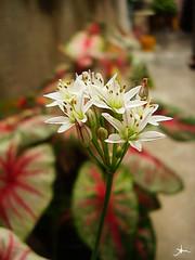 florzinhas (alineioavasso™) Tags: flowers white flores flower little flor florzinha duetos