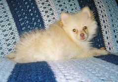 fuzzy bear is 1. (kelaltieri) Tags: bear new dog baby cute puppy fuzzy nj pomeranian mahwah february2007