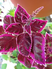 Coleus 'Trailing Plum Brocade'