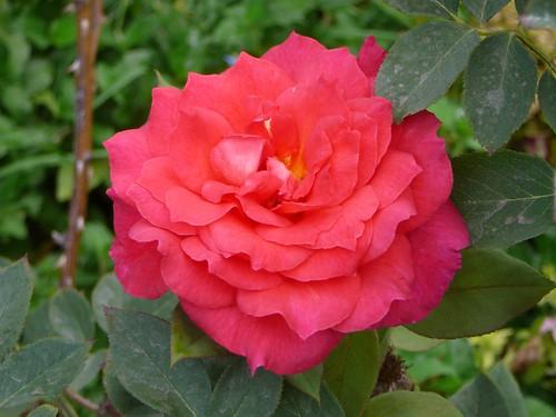 rose-1110787