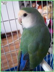 Baby Cara ^^ (Kasha InWonderland) Tags: cute animal sweet cara parrot loro agapornis papagai