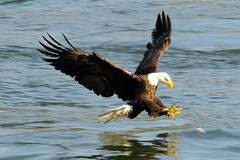 Bald Eagle Fishing (ozoni11) Tags: fish bird nature birds animal animals wow fly flying google wings fishing nikon eagle flight wing baldeagle bald maryland explore raptor prey winged eagles raptors grabbing baldeagles googleimages d300 naturesfinest conowingo conowingodam eaglefishing naturescall top20birdshots interestingness46 i500 animaladdiction specanimal michaeloberman baldeaglefishing platinumphoto anawesomeshot ozoni11 avianexcellence citrit nikond300 treeofhonor platinumsuperstar preyeagle