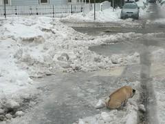 screw it-- there is apparently no grass (alist) Tags: winter cambridge dog snow ice weather puppy pug alist annie cambridgemass 02139 alicerobison ajrobison