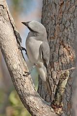 IMG_6490 White-bellied Cuckooshrike  (Coracina papuensis) (ajmatthehiddenhouse) Tags: whitebelliedcuckooshrike coracinapapuensis cuckooshrike coracina papuensis qld queensland bird 2007 australia