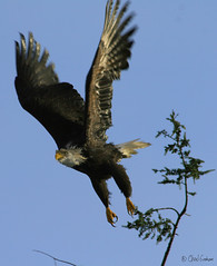 Eagle in Flight (zpaperboyz) Tags: bird photography flying photo  bc image eagle canon20d wing baldeagle beak picture feather pic talon photograph blanche tte princerupert haliaeetus leucocephalus tamronlens pygargue specanimal anawesomeshot chadgraham avianexcellence zpaperboyz canadaprincerupertchadgraham sustantivo