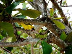 100_2123.JPG (Drevellatiosi) Tags: animals wildlife mauritius floraandfauna
