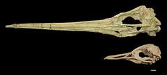 Icadyptes salasi & Spheniscus humboldtii