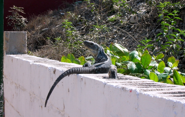 Iguana on wall, La Manzanilla