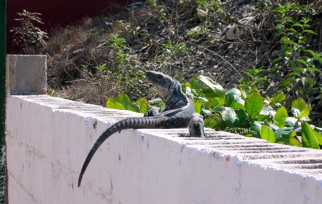 Iguana on wall, La Manzanilla