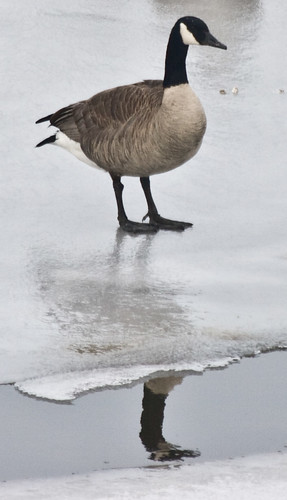 A Canada Goose Reflects