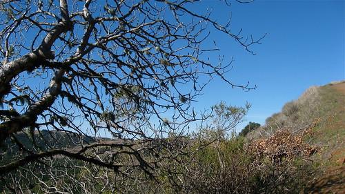 a buckeye tree