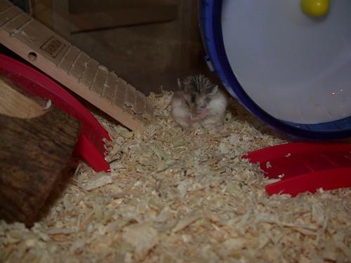 Cute Roborovski! by roborovski hamsters.