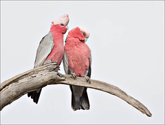 Galahs - sitting for their portrait (aaardvaark) Tags: male female pair australia canberra act galah cacatuaroseicapilla callumbrae avianexcellence cal09 2008040904904~gala