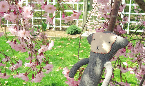 le Carotte enjoys the cherry blossoms
