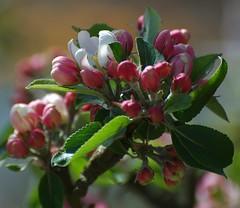 Blossom (vanstaffs) Tags: naturesfinest blueribbonwinner springblossom theperfectphotographer multimegashot