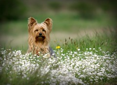 Mimi in the flower field (yorkiemimi) Tags: flowers dog white green yorkie nature animal mimi yorkshireterrier