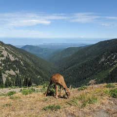 Four-legged mountaintop vegetarian lunch stance in broad daylight of Pacific Northwest of deer. (Tim Kiser) Tags: 2015 20150825 august august2015 clallamcounty clallamcountywashington hurricaneridge hurricaneridgelandscape img1760 mountbaker obstructionpointroad odocoileushemionuscolumbianus olympicmountains olympicnationalpark olympicnationalparklandscape olympicpeninsula straitofjuandefuca washington washingtonlandscape washingtonstate washingtonstatelandscape blacktaildeer deer eatinggrass forestedmountains forestedmountainsides forestedslopes grazing grazingdeer landscape mostlysunny mountainlandscape mountainouslandscape mountainsides muledeer nationalpark northwestwashington northwesternwashington park view westwashington westernwashington portangeles unitedstates