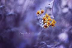 - (-LilyBeth) Tags: nature natura nikon dof depthoffield d3000 wonderfulworld flowers flower colors outside bokeh blu