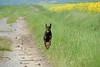 Vello Dobermann (VDG ) Tags: dog chien pet france dogs nikon champagne hund doberman d200 nikkor fr vr chiens jeu balle marne 70300 dobermann champagneardenne vdg