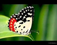 Red pierrot (shri :)) Tags: red india macro closeup canon butterfly flickr bangalore sigma pierrot sigma70300apomacro canon450d shrikanthsy