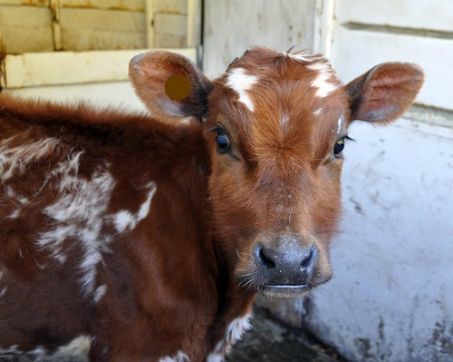 Ayrshire calf 'Bee'