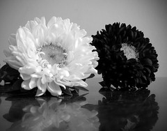 Night and Day (Martha MGR) Tags: bw black flores flower branco preto vernissage bianco blanc nightandday 1000views mmgr platinumphoto vosplusbellesphotos marthamgr reservaespecial 4msphotographicdream 3msroyalflowers 2msroyalstation marthamariagrabnerraymundo marthamgraymundo