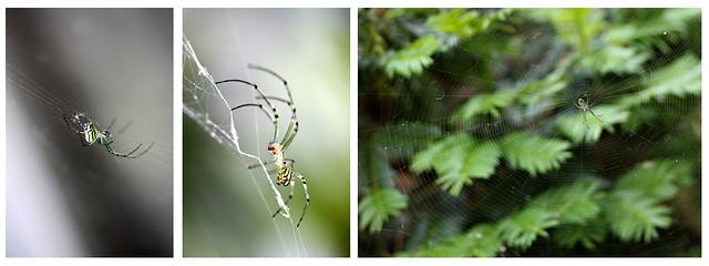 spider form