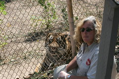 Marcia with Sumatran tiger Utan (kjdrill) Tags: california park wild usa animal animals indonesia sandiego tiger fires exoticcats bigcats heroic sumatran escondido firestorm endangeredspecies sumtra critically pasqualvalley kemala